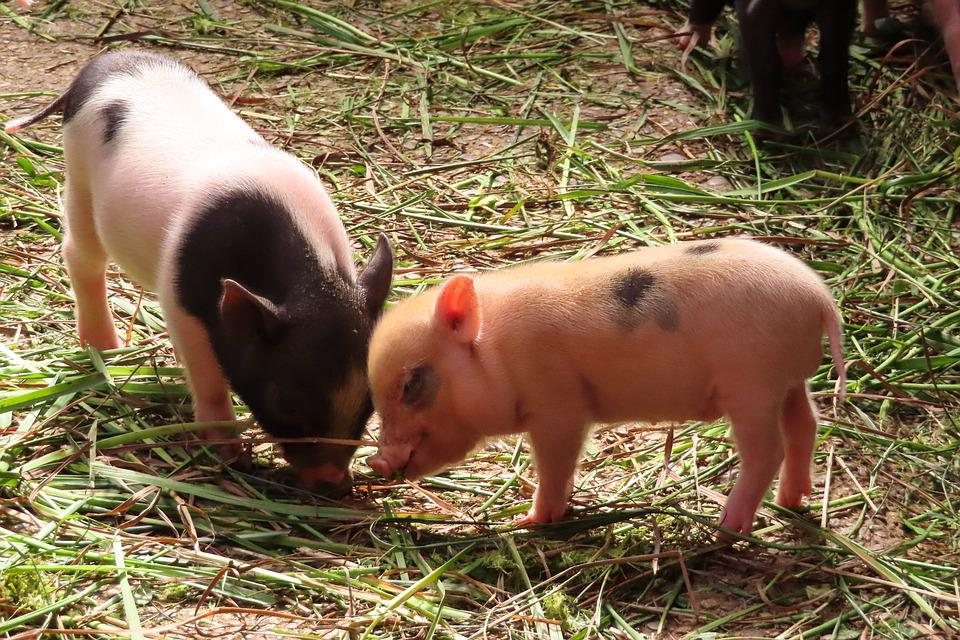 Animals, Pig, Piglet, Farm, Agriculture, Mammal, Luck