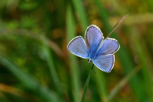 Mariposa, Común Azul, Prado, Cerrar