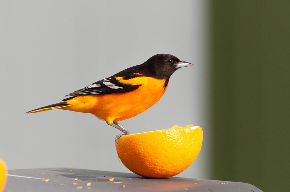 Oriole, Orange, Bird, Wildlife, Nature, Avian, Feathers