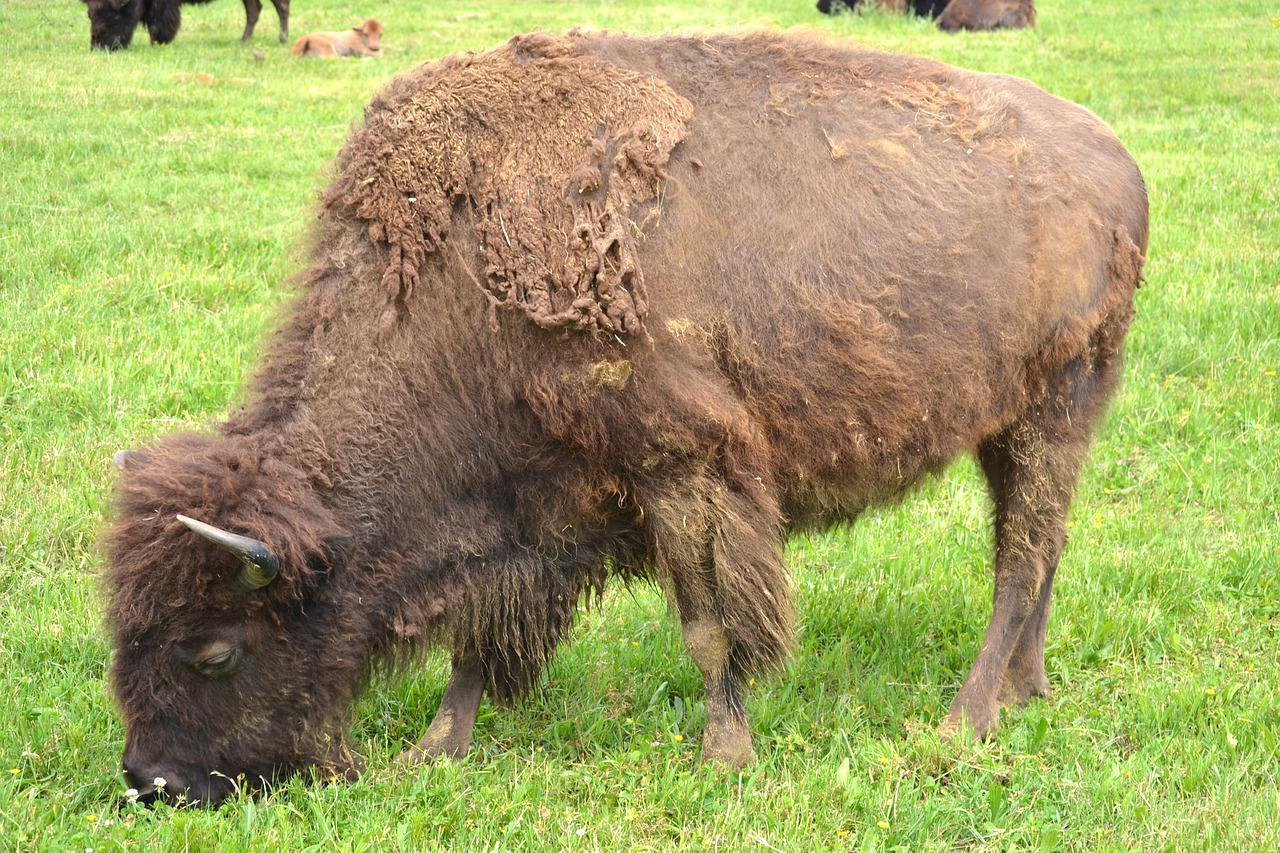 Hairy Buffalo