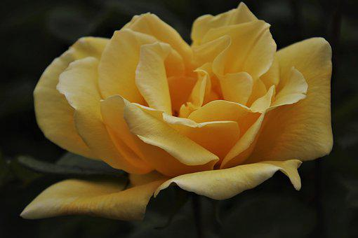 The Smell Of, Blooming Rose, Yellow