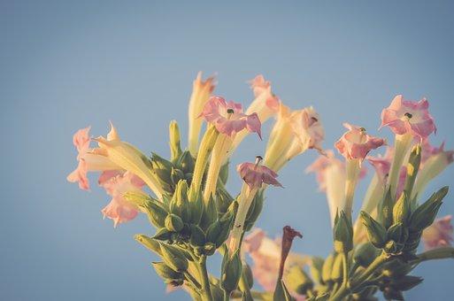 たばこ, 花, ピンク, 植物, ナス, Nicotiana Tabacum