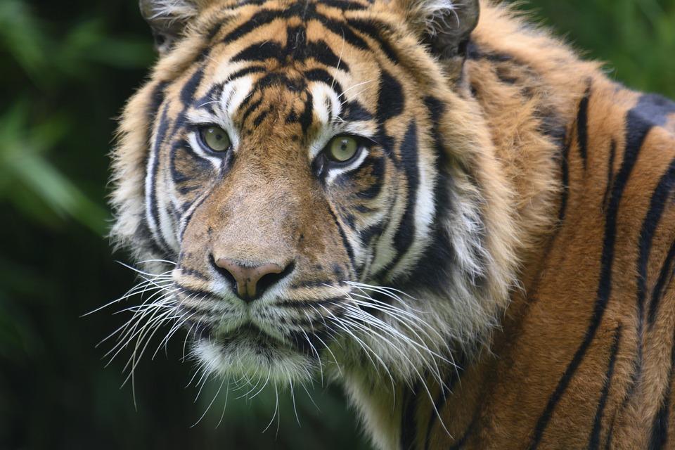 Tiger, Wild, Predators, Carnivores, Whiskers, Zoo