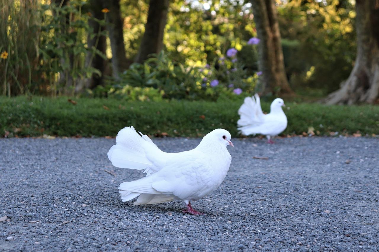 аналогичному фотографии белых голубей хорошего качества фиксируется