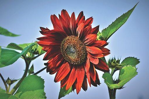 向日葵, 花, 夏, ブルーム, 花びら, ひまわり畑, フローラ, 自然