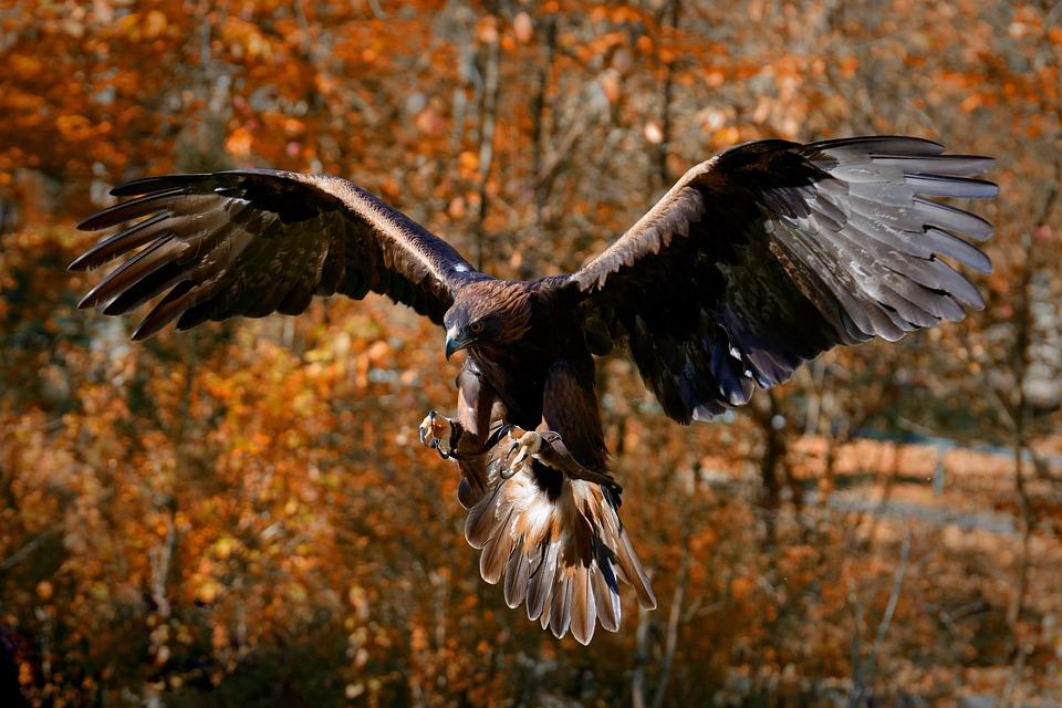 Adler, Greifvogel, Beute, Fressen, Raubvogel, Tier