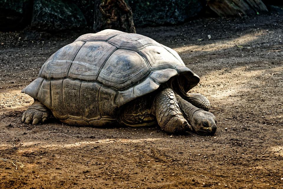 ゾウガメ, 動物, 装甲, 動物園, カメ, 亀, 爬虫類, 亀の甲羅, ゆっくり, クリーチャー