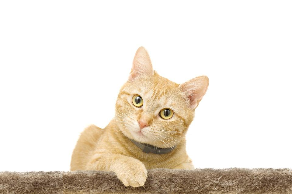 ジンジャー, ペット, 動物, 猫, ネコ, 黄色, かわいい, 家畜化された, 若いです, 毛皮, 赤