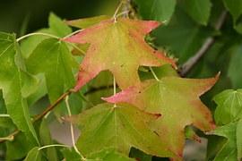 Amber Tree, Leaves, Autumn, Green