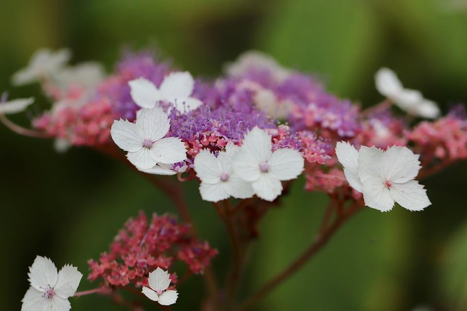 あじさい, プレートのアジサイ, 花, アジサイの花, 観賞植物, 花序, 紫, 白, 塞ぎます, マルチ色