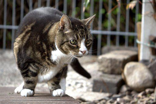 Cat, Mieze, Domestic Cat, Animal, Pet