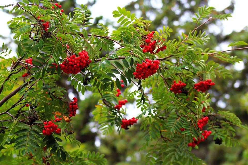 Дерево, Красный, Рябина, Венок, Фрукты, Природа, Осень