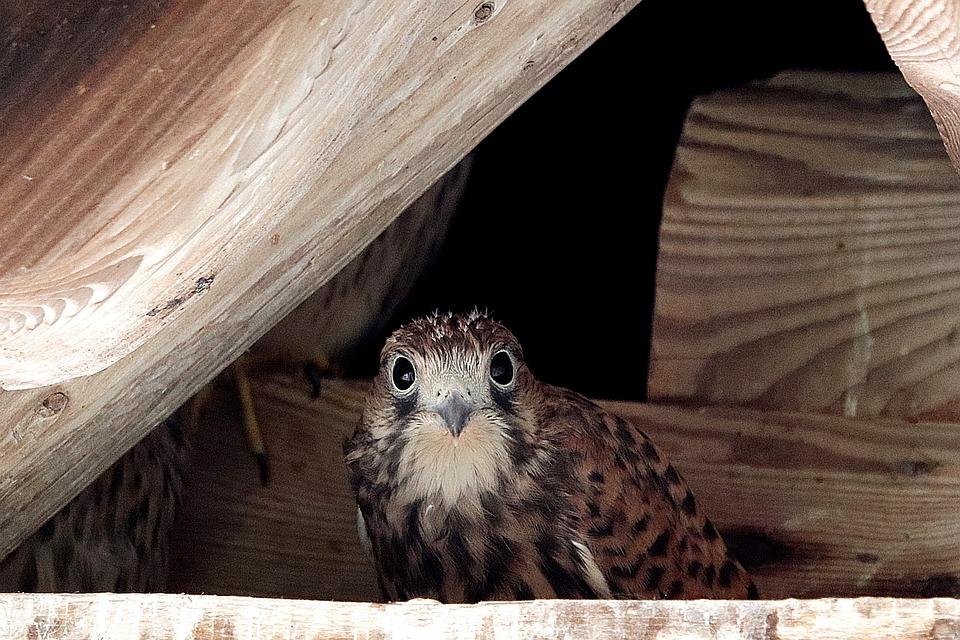 baby hawk at nest