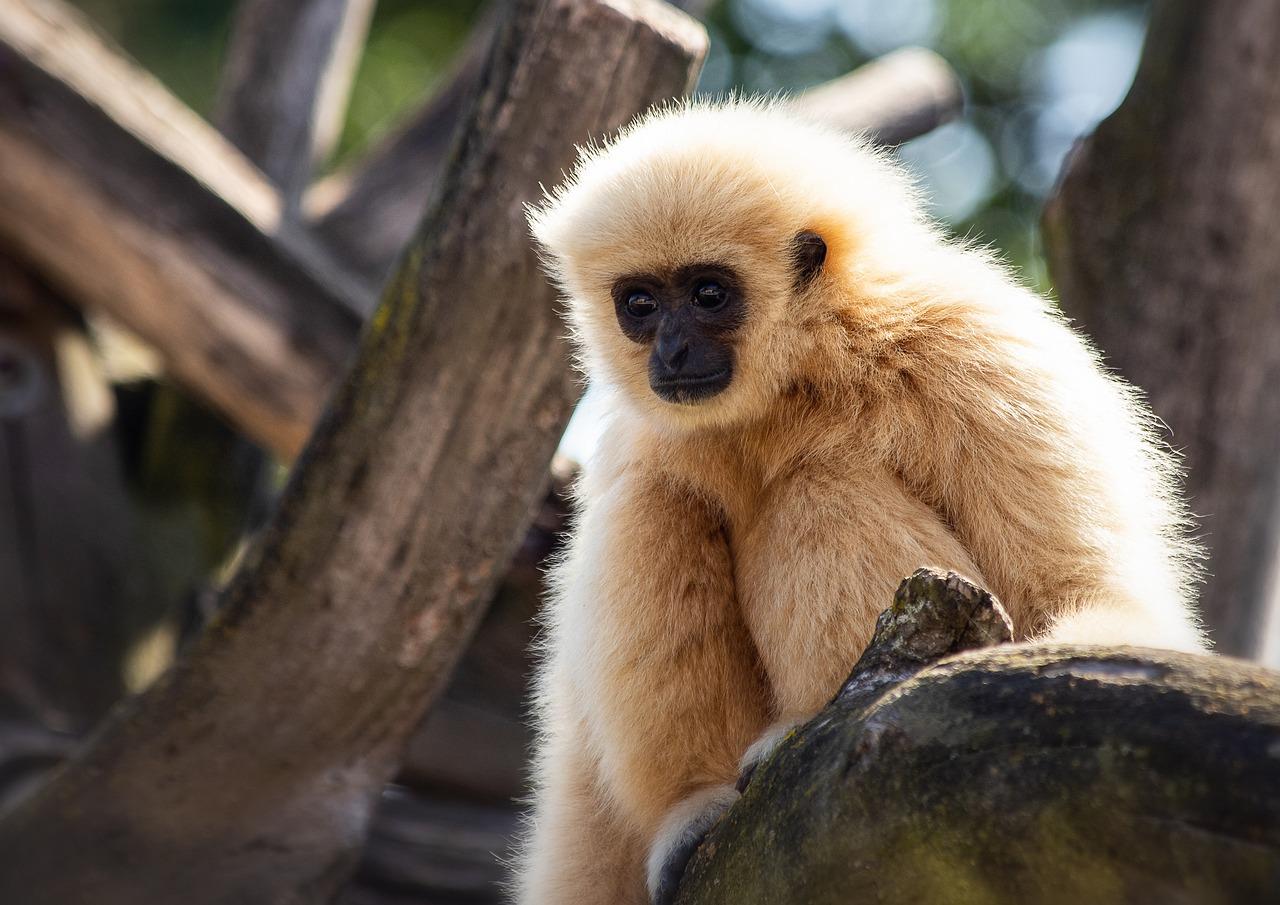 White-Handed Gibbon Monkey Primate - Free photo on Pixabay