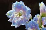 kwiat, kolory, niebieski