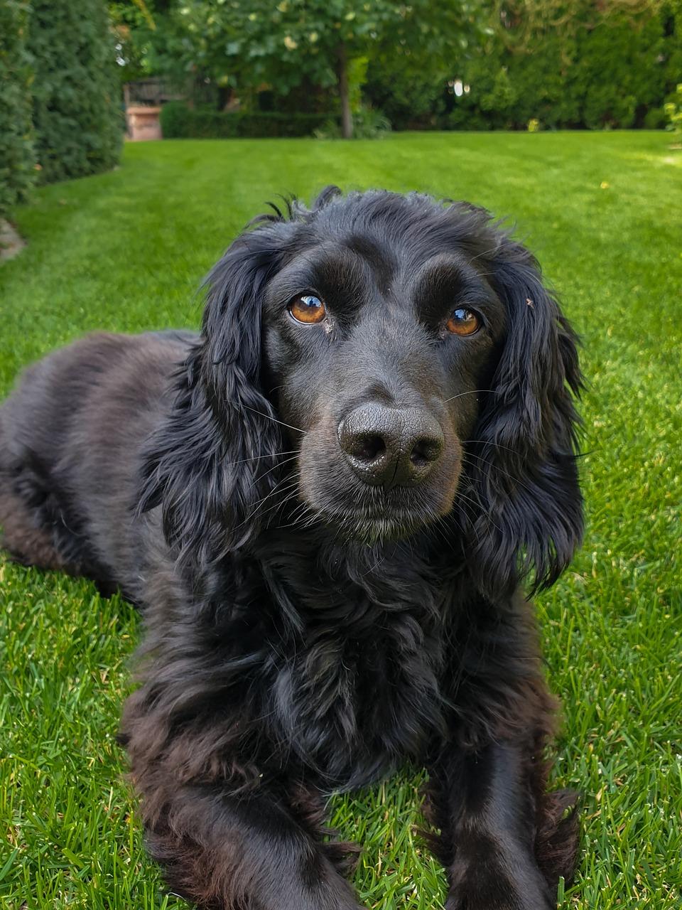 фото собак кокер спаниель черный поверхности салата, посыпанного