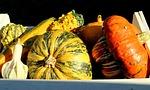 dynie, zbiory, jesień