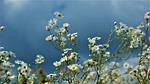 rumianek, kwiaty, pola kwiatów
