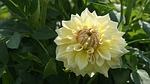 dalia, kwiat, ogród