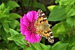 painted lady, kwiat, różowy