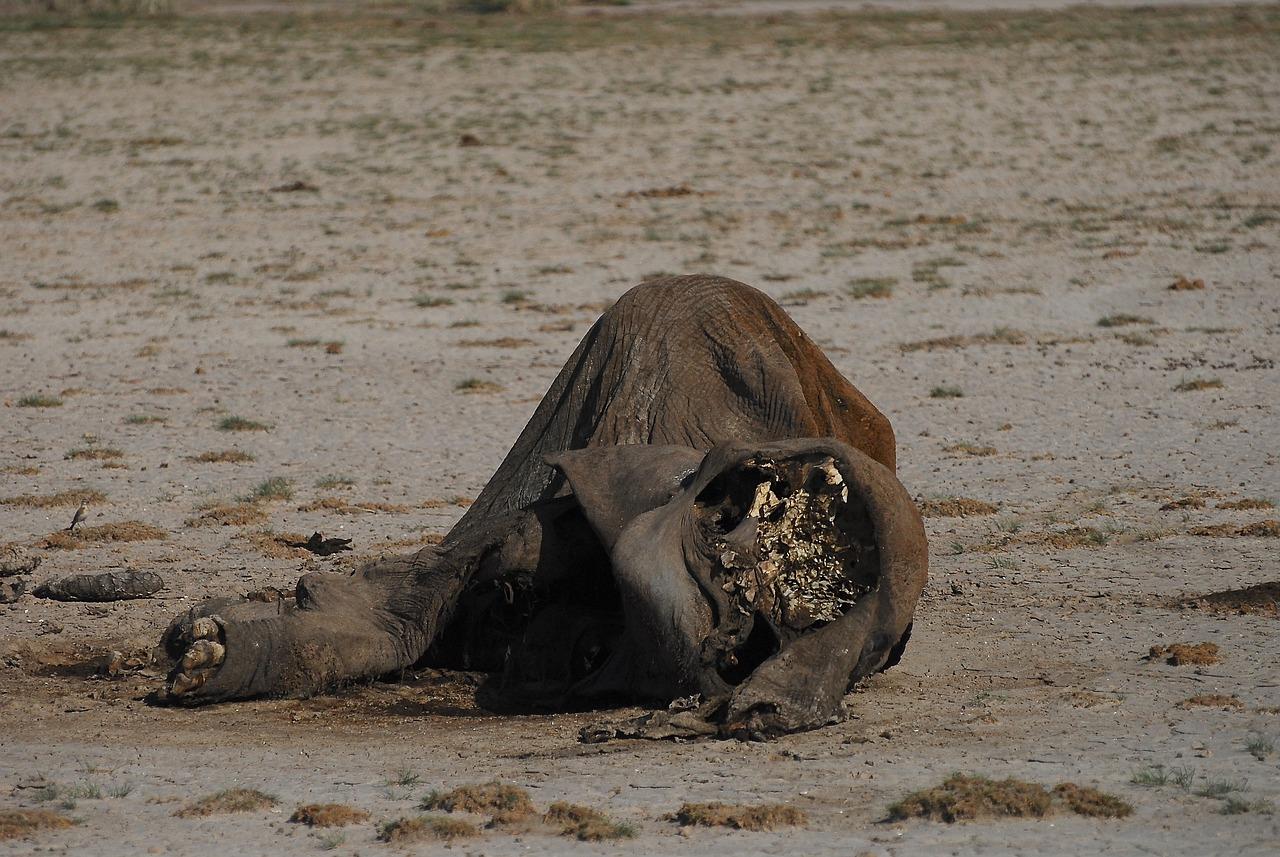 Elefánt csontváz
