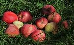 w cieniu, sadu, jabłka