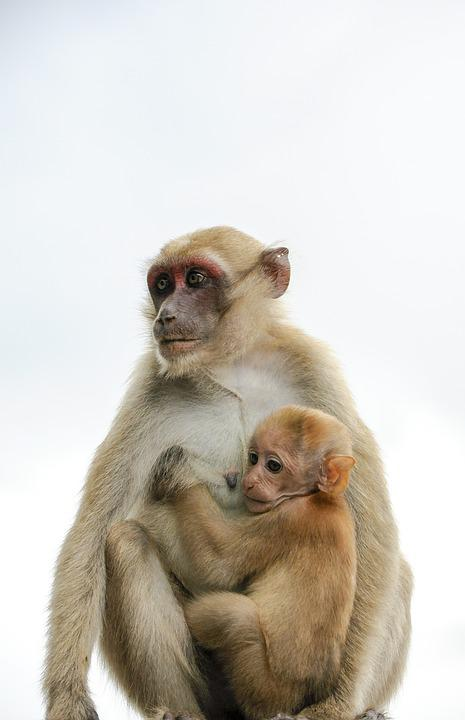 Monkey, Animal, Mammal, Primate, Portrait, Wild, Nature