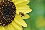 pszczoła, owad, lot