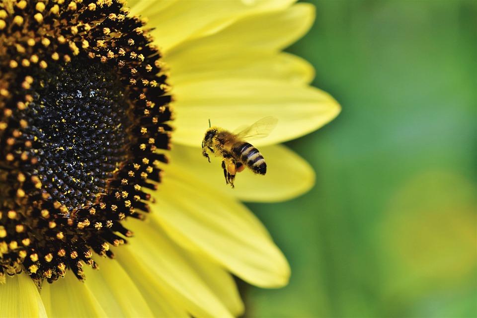Ape, Honey Bee, Insetto, Volo, Volante, Polline, Fiore