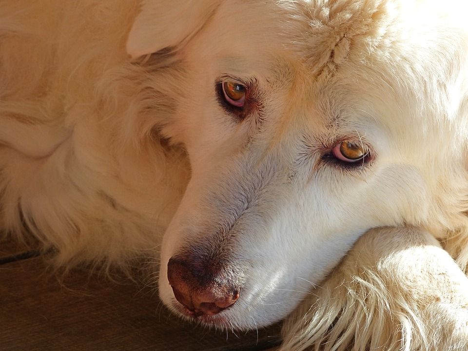 Dogs, Pets, Animal, Trust, Canine, Portrait, Maremma