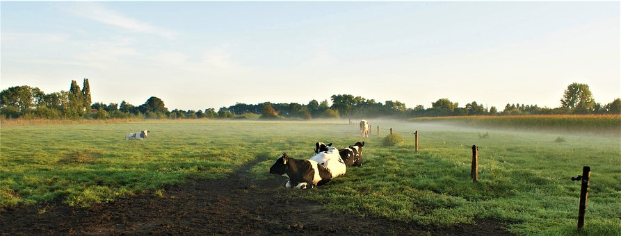 Cows, Rest, Morning, Nature, Cow, Grass