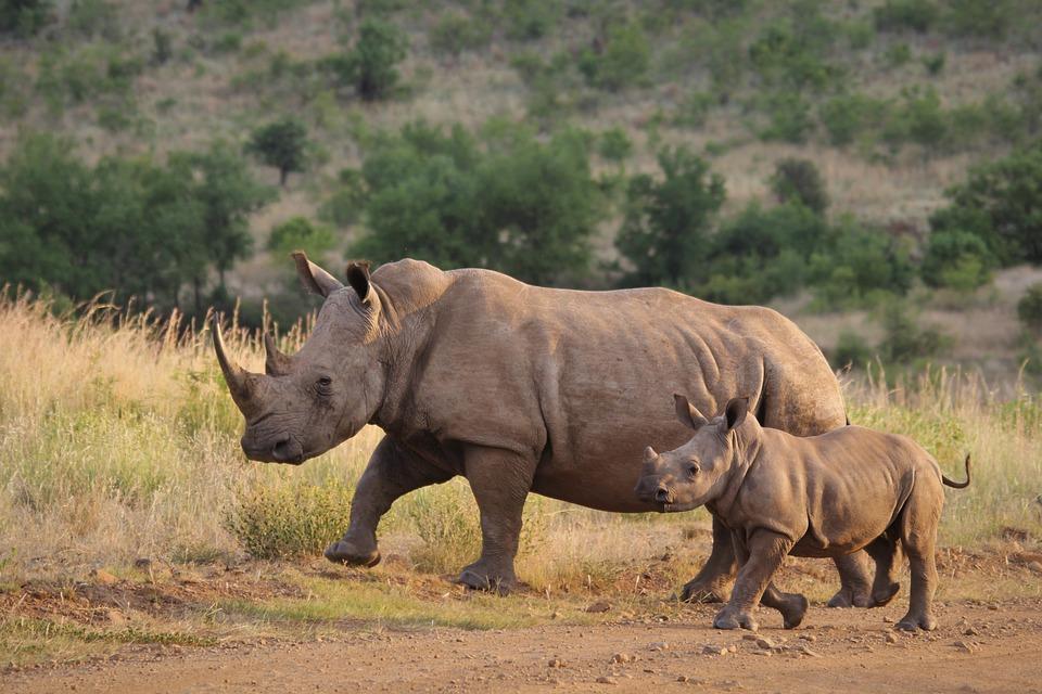 White Rhino, Calf, Mother, Young, Rhinoceros, Baby