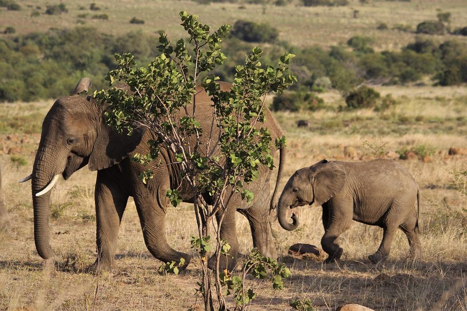 Afrikanische, Elefant, Kuh, Kalb, Mutter, Kinder, Baby