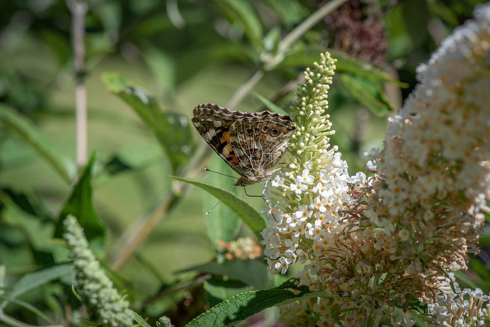 Papillon, Faune, Insecte, Papillons, Lilas, Buddleia