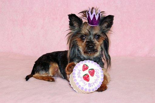Yorkie, Dog, Cake, Birthday, Princess