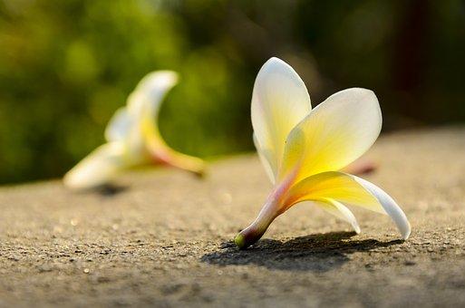 クロッカス, 植物, 自然, 花, フローラ, 分ける, 離婚, 悲しみ