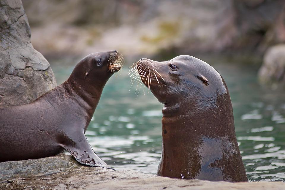 Seal, Sea Lion, Robbe, Meeresbewohner, Water