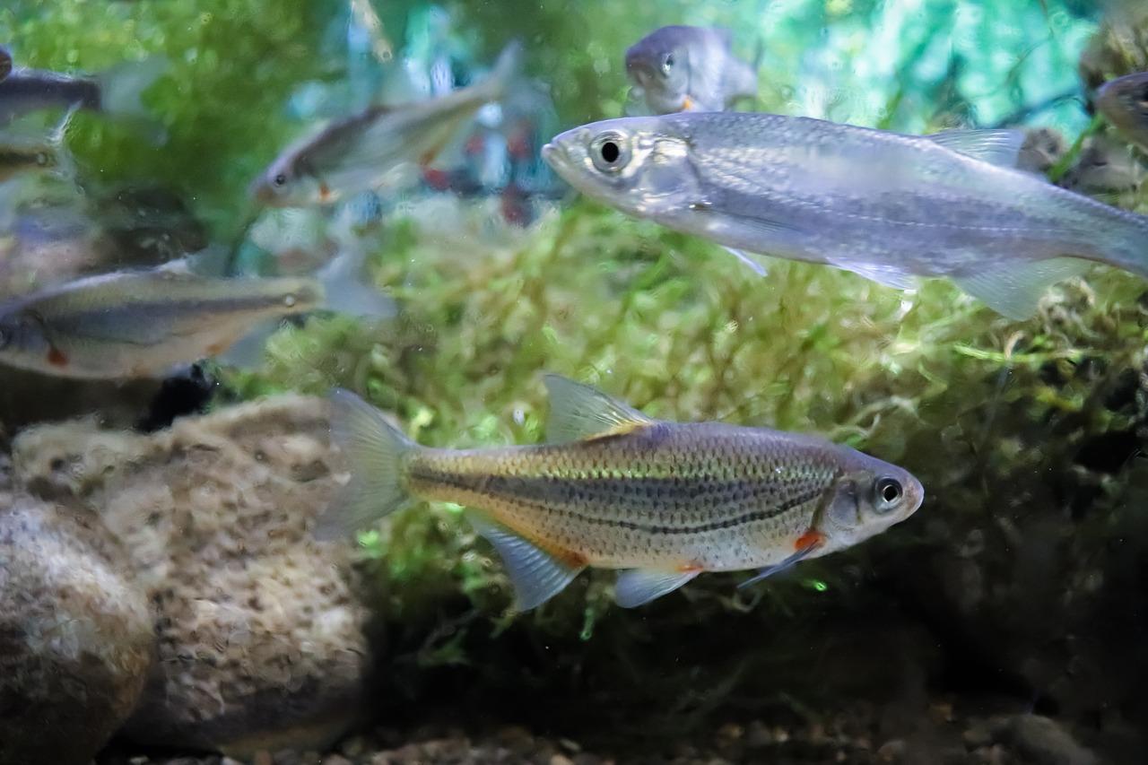 Ikan Air Tawar Akuarium Foto Gratis Di Pixabay
