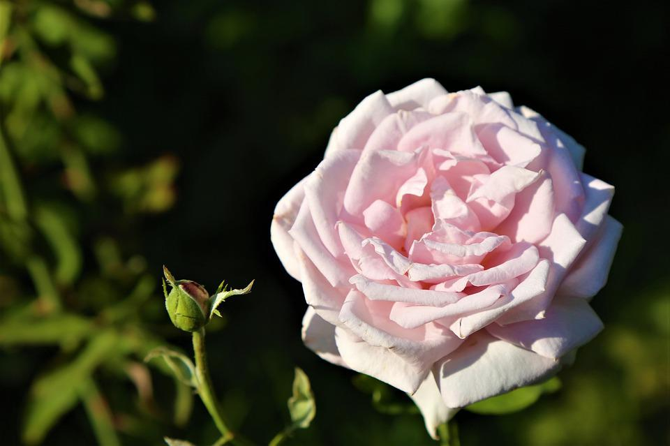 Rose Nature Amour Photo Gratuite Sur Pixabay