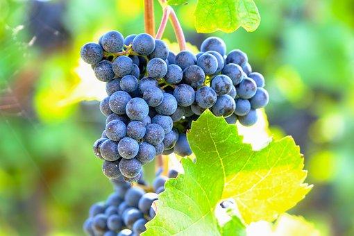 Grapes, Blue, Fruit, Grapevine, Vine
