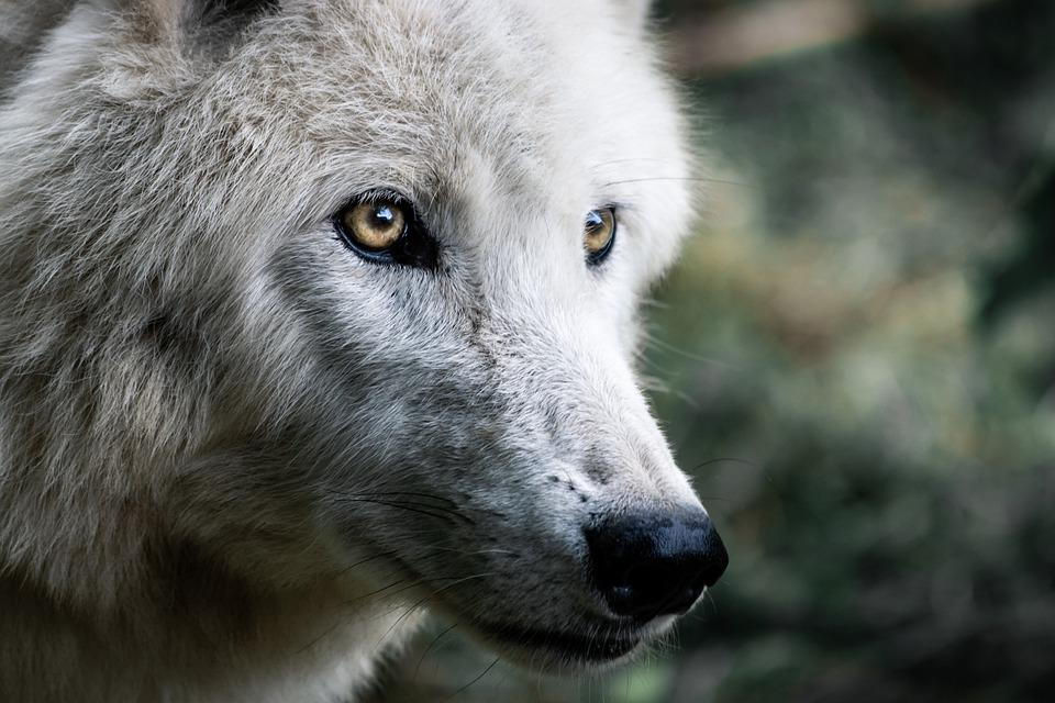 Dogs that look like wolves: Breeds that Retained the Appearance of Wild Ancestors