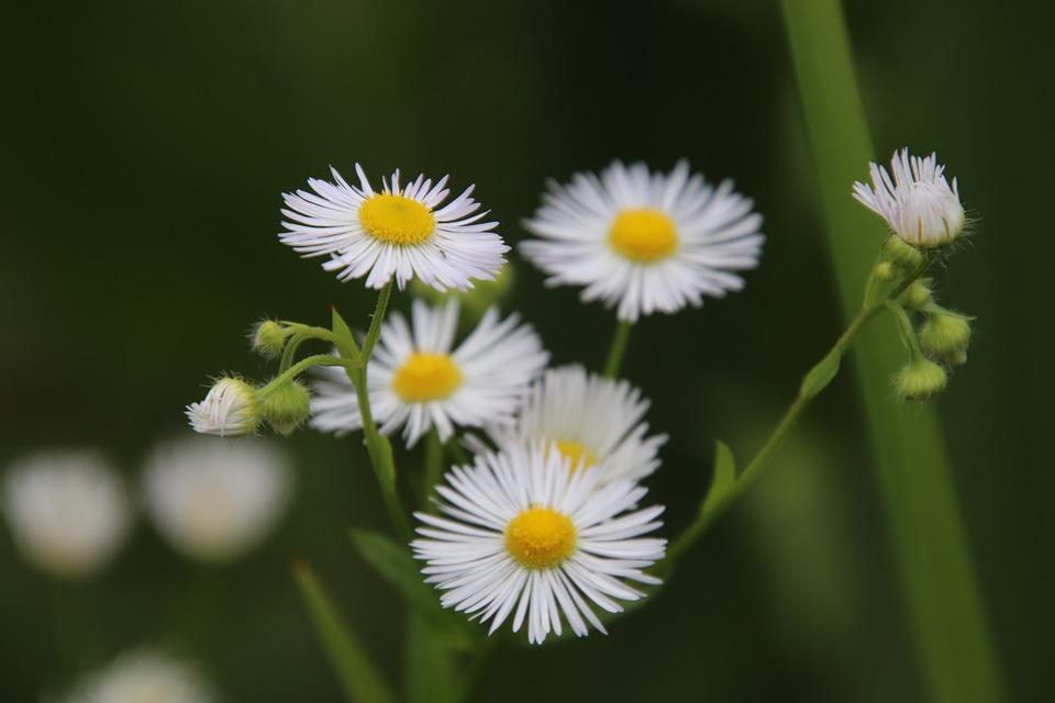 Aster Bunga Warna Putih Foto Gratis Di Pixabay