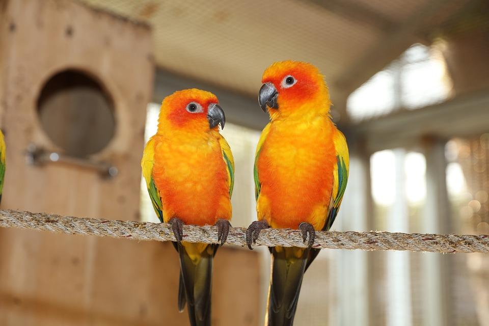 Žltá Zelená Parakeet, Zriedkavé Parakeet