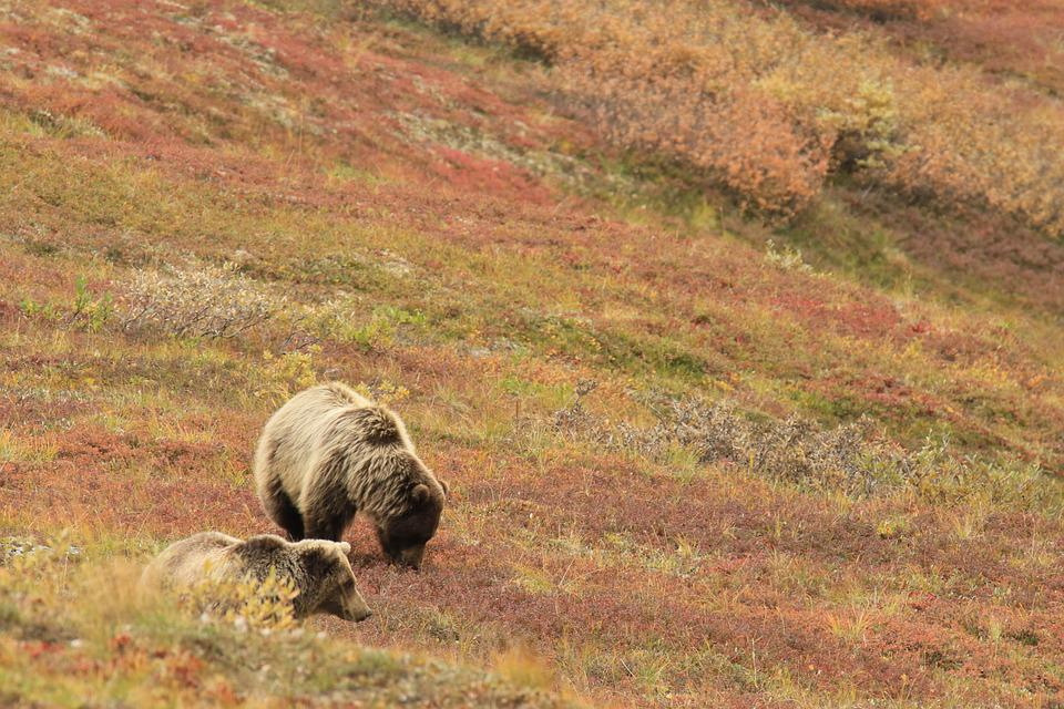 Bears, Mother, Cub, Grizzly, Alaska, Field, Orange