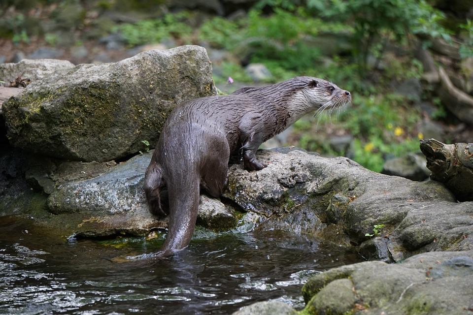 Fischotter, Tier, Natur, Zoo, Tierwelt, Wild