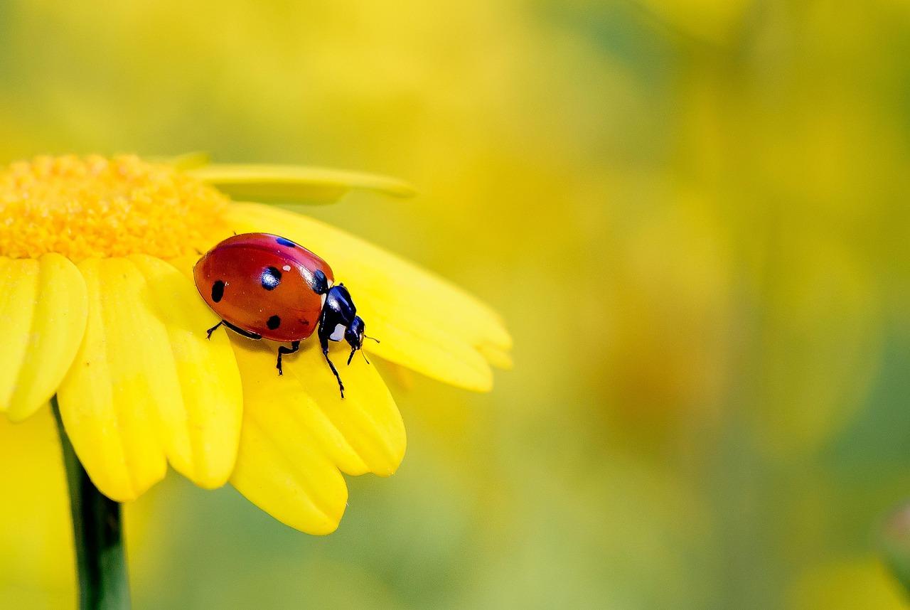 Pixabay - Insekten, Gelb, Blume, Marienkäfer, Käfer, Insekt, Rot