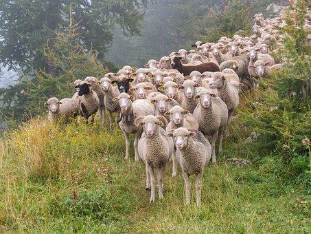 羊, 羊の群れ, 群れ, 動物, 羊, 羊, 羊, 羊, 羊, 群れ, 群れ