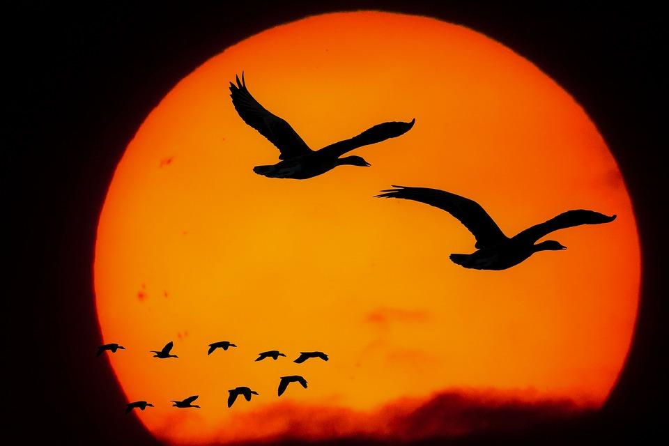 夕焼けに映える渡り鳥