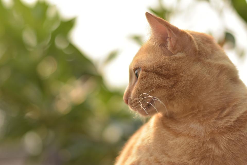 Velká kočička zázvoru