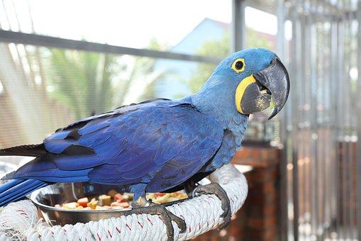 Raro Guacamayo Azul, Guacamayo